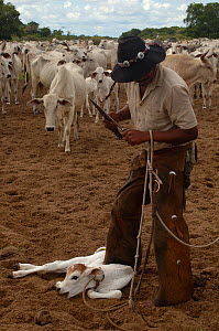 Cowboy 'Boiadeiro' (Sebasti�o Silva) and Pantanal calf to be ear marked. They only cut a very small notch as these cattle use their ears as sun shades. Mato Grosso do Sul Province. Brazil, South Ameri... - Pete Oxford