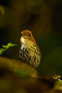 """Chestnut-crowned Antpitta (Grallaria ruficapilla)  West Andes """"Paz de las Aves"""" cloud forest. Pichincha. Ecuador, South America  -  Pete Oxford"""