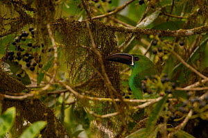 "Crimson-rumped toucanet (Aulacorhyncus haematopygus) West Andes ""Paz de las Aves"" cloud forest. Pichincha. Ecuador, South America  -  Pete Oxford"