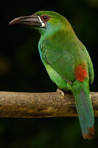 Crimson-rumped Toucanet (Aulacorhynchus haematopygus) perched on branch, Ecuador, South America  -  Pete Oxford