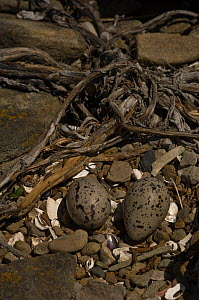 Blackish Oystercatcher (Haematopus ater) nest with eggs. Keppel Island. Off north coast of West Falkland. Falkland Islands  -  Pete Oxford