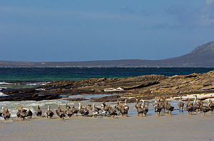 Flock of Upland geese (Chloephaga picta leucoptera) in eclipse plumage. During this moult they can not fly and seek safety in numbers. Sea Lion Island. South of mainland east Falkland Island. Falklan...  -  Pete Oxford