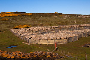 Flock of Sheep (Roughies) in pens for shearing.  Port Stephens Farm. West Falkland. Falkland Islands - Pete Oxford
