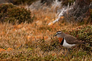 Rufous-chested Dotterel (Charadrius modestus) walking in moorland habitiat,  Sea Lion Island. South of mainland east Falkland Island. Falkland Islands  -  Pete Oxford