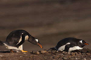 Pair of Gentoo Penguins (Pygoscelis papua) at nest site, one carries small stone in its bill as courtship gift, Sea Lion Island. South of mainland east Falkland Island. Falkland Islands  -  Pete Oxford