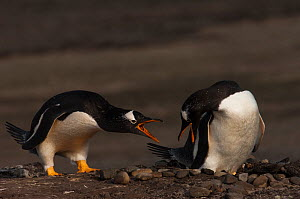 Pair of Gentoo Penguins (Pygoscelis papua) calling to one another at nest site, which is comprised of a small pile of stones, Sea Lion Island. South of mainland east Falkland Island. Falkland Islands  -  Pete Oxford