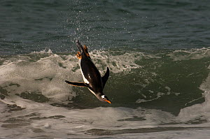 Gentoo Penguin (Pygoscelis papua) jumping out of the water, Sea Lion Island. South of mainland east Falkland Island. Falkland Islands  -  Pete Oxford