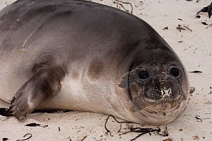 Portrait of a Southern Elephant Seal (Mirounga leonina) juvenile, 3 weeks old and weaned, its mother has abandoned it to go to sea and from now on it must survive on its own. Sea Lion Island. South o...  -  Pete Oxford