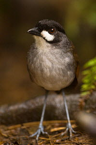Jocotoco antpitta (Grallaria ridgelyi) in lower temperate forest, Zamora-Chinchipe, South Ecuador, South America. Discovered in October 2000, endangered.  -  Pete Oxford
