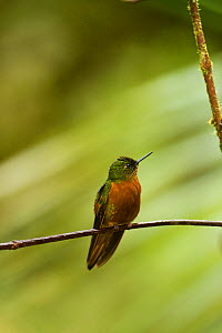 Chestnut-breasted Coronet (Boissonneaua matthewsii) perched on branch, in cloud forest, Tapichalaca Reserve, Southern Ecuador, South America  -  Pete Oxford
