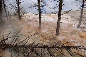 Mammoth Hot Springs with its terraces, and standing trees, Yellowstone National Park. Wyoming. USA  -  Pete Oxford
