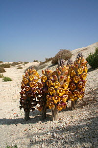 Desert hyacinth (Cistanche tubulosa) parasitic plant with underground tuber, flowering in desert, Dubai, United Arab Emirates. Boiled stem traditionally used to cure diarrhoea. Believed to be aphrodis...  -  Miles Barton