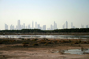 Lagoons of Ras Al Khor bird reserve, with Greater flamingos (Phoenocopterus ruber) in the foreground and Dubai skyline in the background, Dubai, United Arab Emirates, February 2010  -  Miles Barton