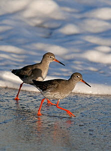 Two Redshank (Tringa totanus) walking along the tideline, Boulmer, Northumberland, UK  -  Roger Powell