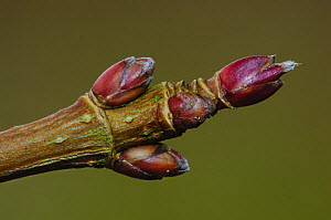 Close up of Field maple buds (Acer campestre) Dorset, England, UK February  -  Colin Varndell