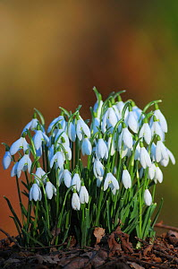 Clump of Snowdrops ( Galanthus nivalis) Dorset, England, UK, February - Colin Varndell
