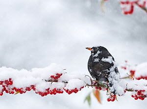 Male Blackbird (Turdus merula) covered in snow, perched on branch of berries in garden, Norfolk, England - David Tipling
