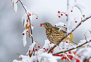 Mistle thrush (Turdus viscivorus) feeding on berries in garden in snow, winter, Norfolk, England, UK  -  David Tipling