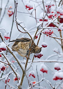 Mistle thrush (Turdus viscivorus) feeding on Rowan berries in snow, Norfolk, December  -  David Tipling