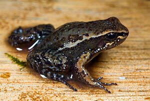 Quito Rocket Frog or Waterfall Rocket Frog (Colostethus jacobuspetersi), Quito, Ecuador. Critically endangered, possibly extinct. 1997. - MORLEY READ