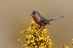 Male Dartford warbler (Sylvia undata) perched on Spanish broom (Genista scorpius) Spain  -  Jose Luis GOMEZ de FRANCISCO