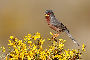 Male Dartford warbler (Sylvia undata) singing, perched on Spanish broom (Genista scorpius) Spain  -  Jose Luis GOMEZ de FRANCISCO