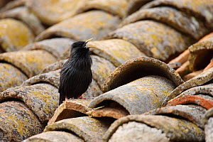 Spotless starling (Sturnus unicolor) singing on roof top, Spain  -  Jose Luis GOMEZ de FRANCISCO