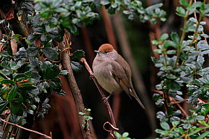Female blackcap (Sylvia atricapilla) perched in garden shrub, Cheshire, UK, December  -  Alan Williams