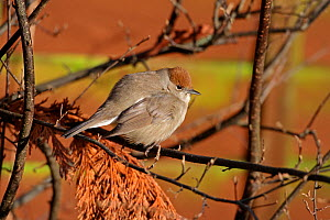 Female Blackcap (Sylvia atricapilla) in garden with feathers fluffed up against the cold, Cheshire, UK, December  -  Alan Williams