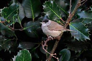 Male Blackcap (Sylvia atricapilla) perched on holly branch, Cheshire, UK, December  -  Alan Williams