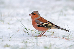 Male chaffinch (Fringilla coelebs) on snow covered lawn, Cheshire, UK, December  -  Alan Williams