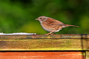 Dunnock (Prunella modularis) perched on fence in garden, Cheshire, UK, January  -  Alan Williams