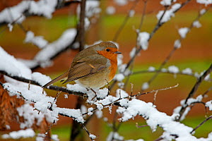 Robin (Erithacus rubecula) perched in snow covered branches, Cheshire, UK, January  -  Alan Williams