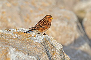 Twite (Carduelis / Acanthis flavirostris) perched on rocky shore, North Wales Coast, UK, December  -  Alan Williams