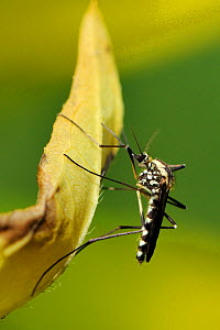 Female mosquito (Aedes geniculatus) resting on a leaf. This is a treehole breeding species, Wiltshire, UK, June  -  Nick Upton