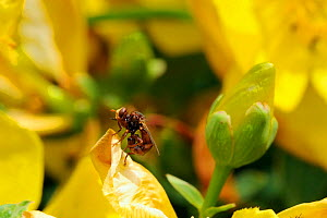 Conopid / Thick-headed fly (Sicus ferrugineus) a parasite of bumblebees, resting on St. John's wort flower (Hypericum sp.). Wiltshire garden, UK, July.  -  Nick Upton