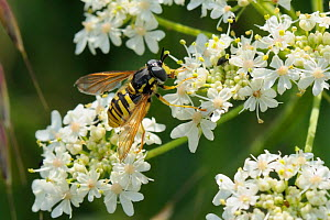 Hoverfly (Chrysotoxum cautum) wasp mimic using proboscis to take pollen from anther of Common hogweed / Cow parsnip (Heracleum sphondylium) flower. Wiltshire, UK, June.  -  Nick Upton