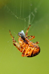 Female European garden spider / Cross orbweaver (Araneus diadematus) wrapping insect prey with silk threads spewed from spinnarets. Wiltshire garden, UK, September. - Nick Upton