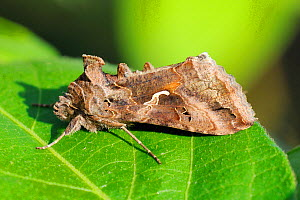 Silver Y Moth (Autographa / Plusia gamma), a migratory noctuid moth resting on a leaf during the day, Wiltshire garden, UK, September. - Nick Upton