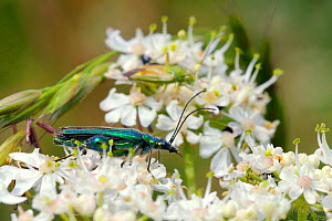 Male Thick-legged flower beetle (Oedemera nobilis) with swollen hind femora, on Common hogweed / Cow parsnip (Heracleum sphondylium) flowers. Potato capsid bug (Closterotomus norwegicus) feeds in back...  -  Nick Upton