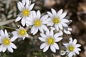 Snow in summer / Mouse ear (Cerastium tomentosum) flowering, Mt Terminillo, Apennines, Lazio, Italy, grows at altitudes up to 2250m - Paul Harcourt Davies