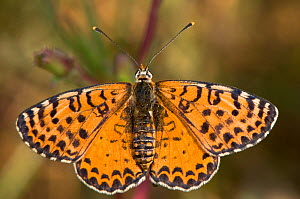 Spotted fritillary butterfly (Melitaea didyma) female, Umbria, Italy  -  Paul Harcourt Davies