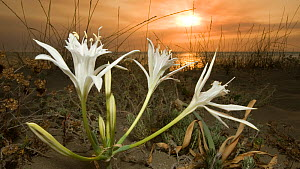 Sea daffodil / lily (Pancratium maritimum) flowers open in late afternoon and remain open overnight, coinciding with the flight times of the Convolvulus hawkmoth (Herse convolvuli) its pollinator, Umb...  -  Paul Harcourt Davies