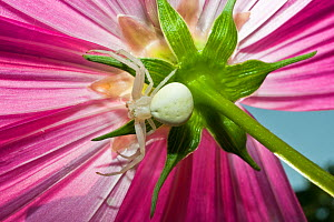 Goldenrod crab spider (Misumena vatia) female alert for prey on a flower, Italy - Paul Harcourt Davies