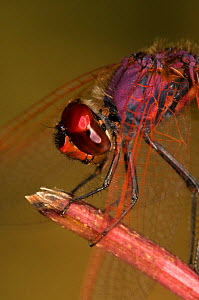 Ruddy darter dragonfly (Sympetrum sanguineum) male resting on post, Umbria, Italy  -  Paul Harcourt Davies