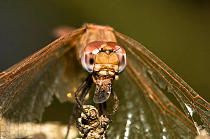 Ruddy darter dragonfly (Sympetrum sanguineum) female resting on post feeding on midge that she has just caught, Italy  -  Paul Harcourt Davies