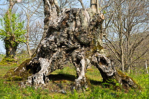 Ancient Sweet chestnut tree (Castanea sativa) in coppiced woodland, Canapine, nr Viterbo, Lazio, Italy - Paul Harcourt Davies