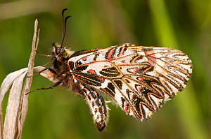 Southern festoon butterfly (Zerynthia polyxena) showing the pattern on the underwings, Italy  -  Paul Harcourt Davies
