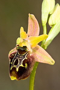 Natural hybrid orchid (Ophrys x aschersonii) cross between Late spider orchid (Ophrys fuciflora) and Early spider orchids (Ophrys sphegodes)  -  Paul Harcourt Davies