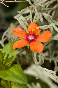 Scarlet pimpernel (Anagallis arvensis) Italy  -  Paul Harcourt Davies